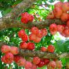 Fruit: Jamalac
