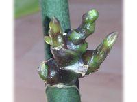 Phalaenopsis n°10