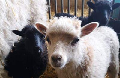 3 agneaux et un chevreau défenestrés : les coupables sanctionnés
