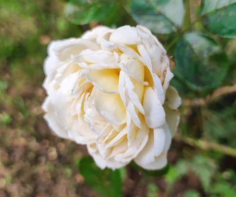Quelques rose :-)