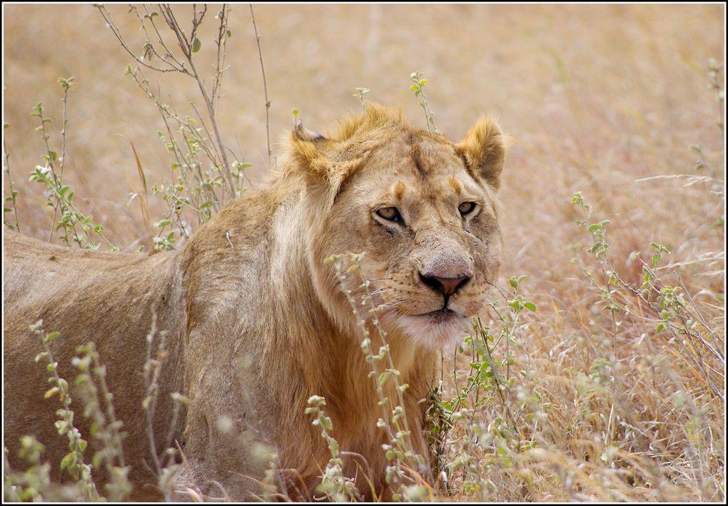Album - Le parc du Serengeti