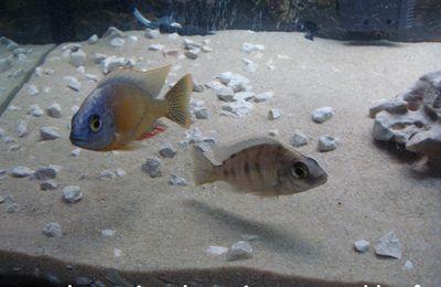 Photos Protomelas Taiwan Reef