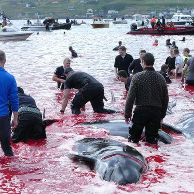 En Europe. Massacre sans précédent aux îles Féroé : 1428 dauphins tués lors d'un Grind illégal