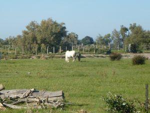 Taureaux et chevaux se côtoient...