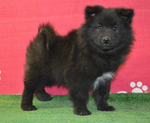 chiot lapinkoira disponible