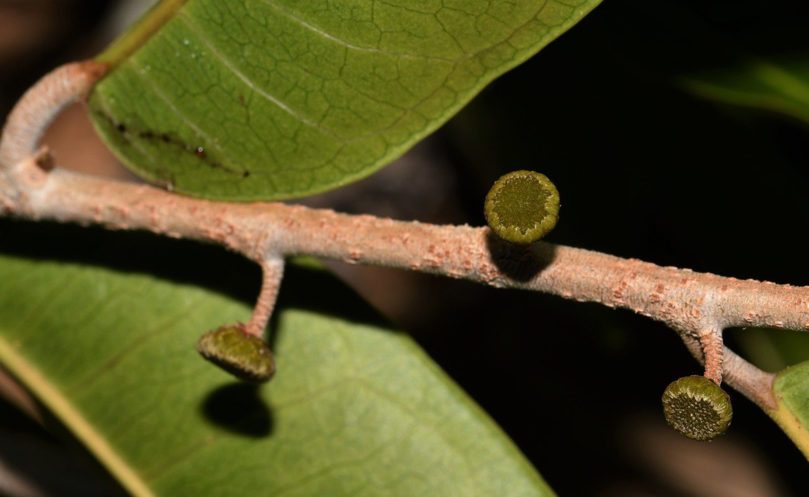 Maquira guianensis subsp. guianensis