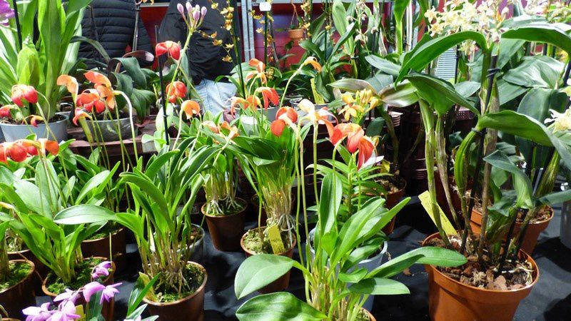 Exposition Internationale d'orchidées à Volgelsheim