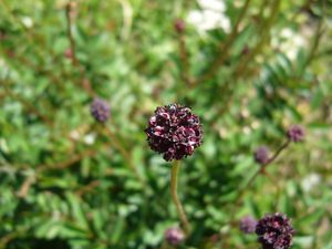 Grande pimprenelle, Sanguisorba officinalis