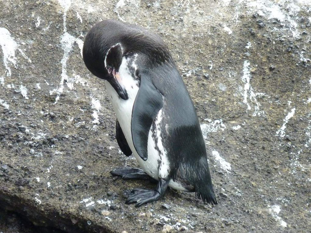 Manchot des Galapagos (Equateur, îles Galapagos)
