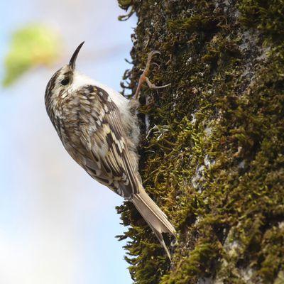 L'oiseau du jour : Le Grimpereau des bois