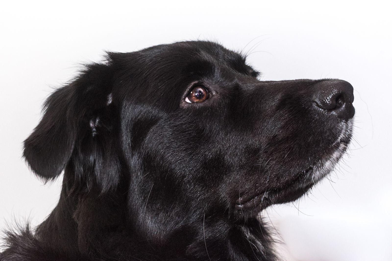 Largo, notre chien, Golden x Border de 2 ans par Céline Art Studio