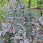 rosa Rubrifolia - lesrosesduchemin.com