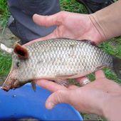 Pisciculture: Nouvelle espèce de poissons - Doc DORFFER Patrick