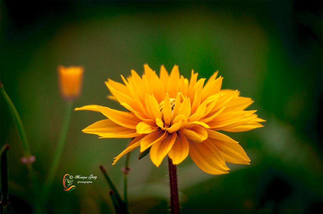 Pétales jaunes