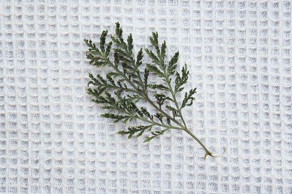 Les feuilles d'Artemisia se réduisent en poudre très facilement!