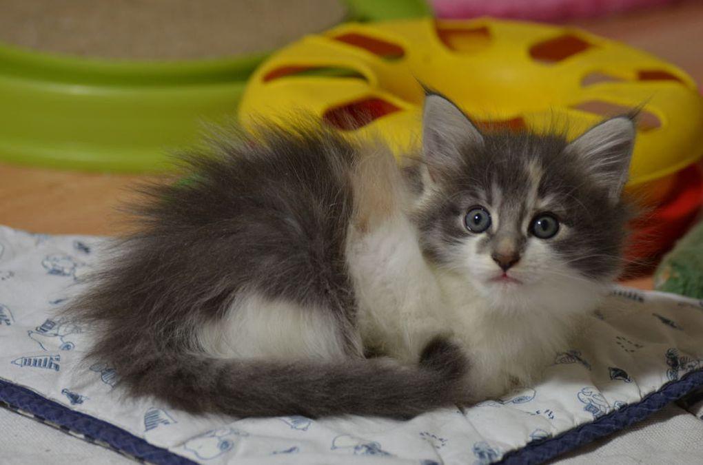 MIA , femelle bleu tortie  , née le 25 mars 2016 , 140 gr à la naissance ,  , 1157 gr à 2 mois , RESERVEE