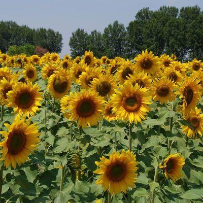 Soleils de Provence