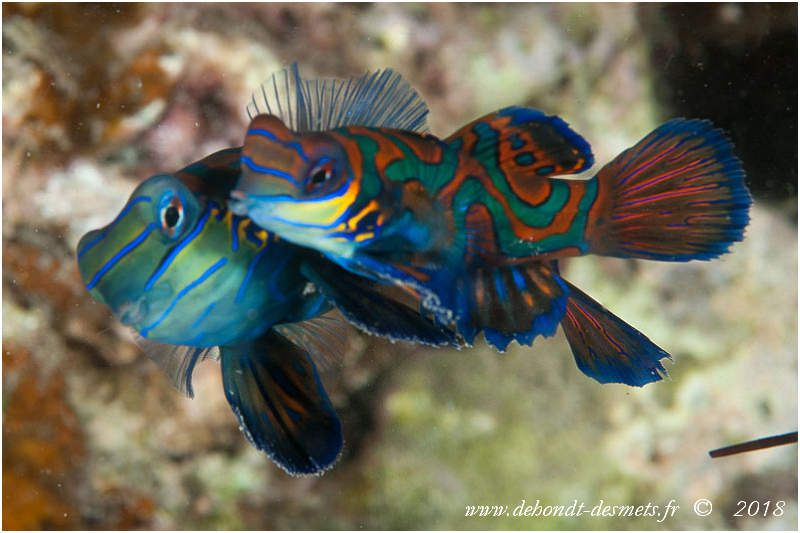 Poisson-mandarin ou poisson-cachemire (Synchiropus splendidus)