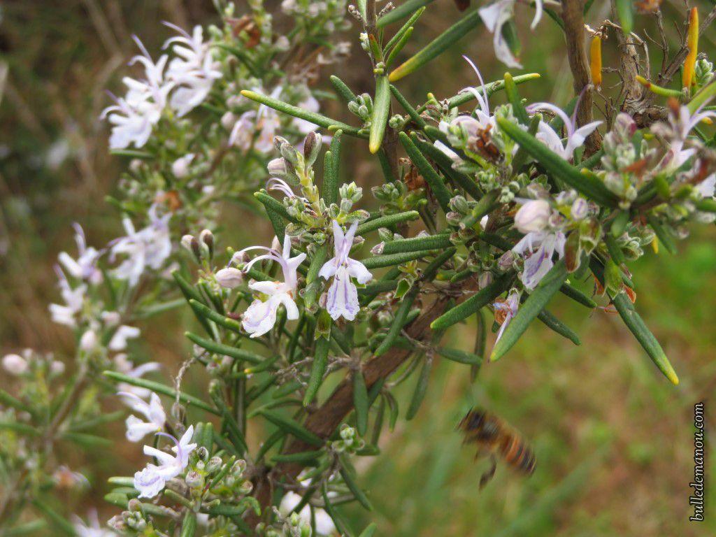 Fleurs de romarin, certaines visitées par les abeilles