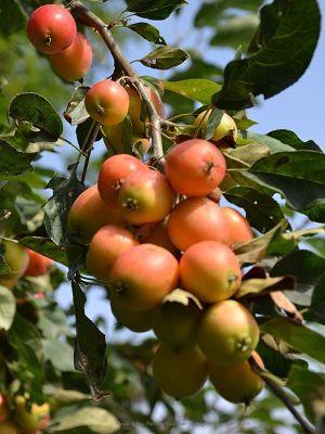Achats groupés d'arbres fruitiers et de haies fruitières - Achats groupés de fournitures de jardin potager.