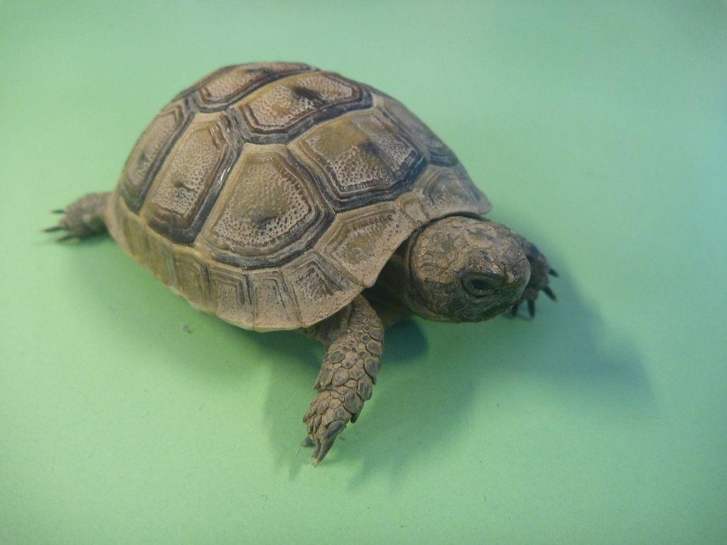 Une tortue dans la classe de Marie-Hélène, CE1.