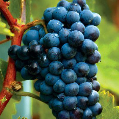 Black wine of Eros