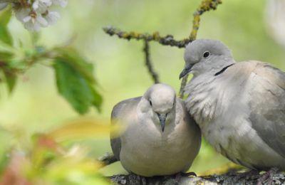 Les tourterelles amoureuses ;-)