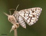 Papillon Phalène picotée, non, Géomètre à barreaux