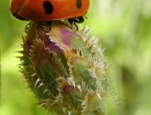 Coccinelle et bourgeon
