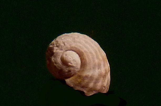 Gastrpodes et divers fossiles du Lutétien de la région de Saint Sauveur le Vicomte ( 50 ) .
