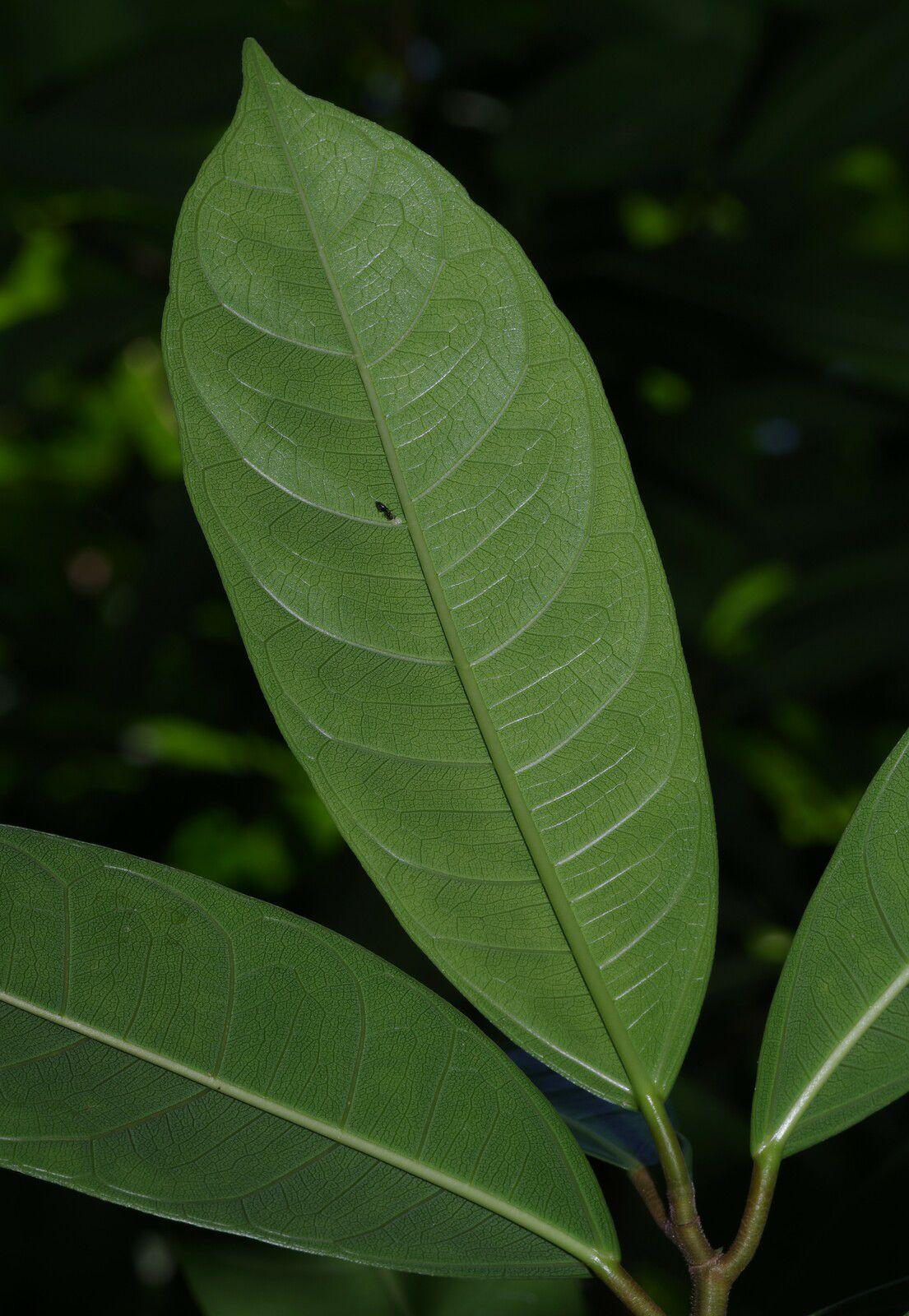 Ficus maxima