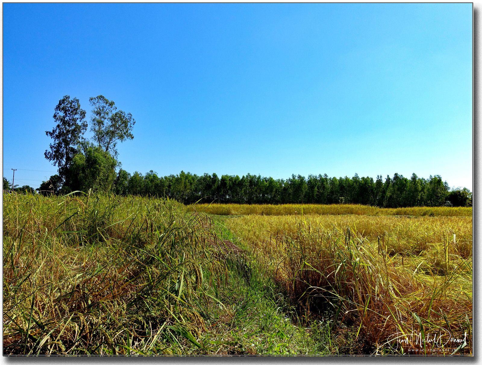 Au milieu des rizières (Thaïlande, Roi Et)