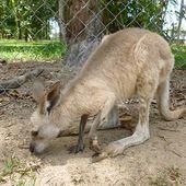 Humour Belge Flamand: Le kangourou - Doc de Haguenau
