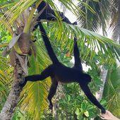 Les singes araignées, acrobates des forêts par Elisa de Kissanga - Manu et Martin autour du monde