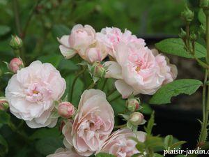 b9. Les rosiers en L. de Li à Ln
