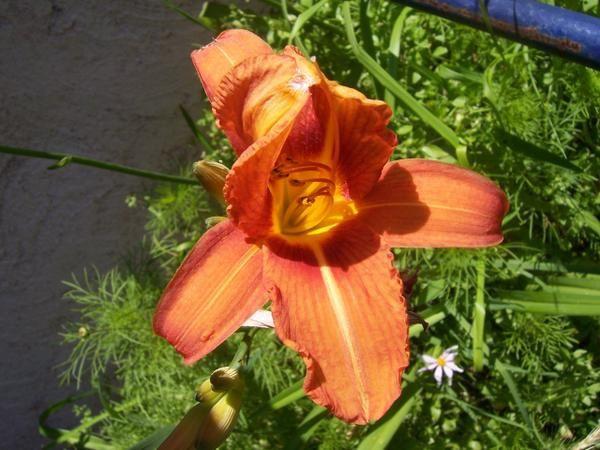 Accueil Photos de fleurs sauvages ou cultivées. Extraits du site Education à l'Environnement -