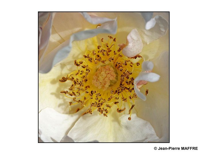 Pétales et sépales s'assemblent merveilleusement dans le cœur des roses.