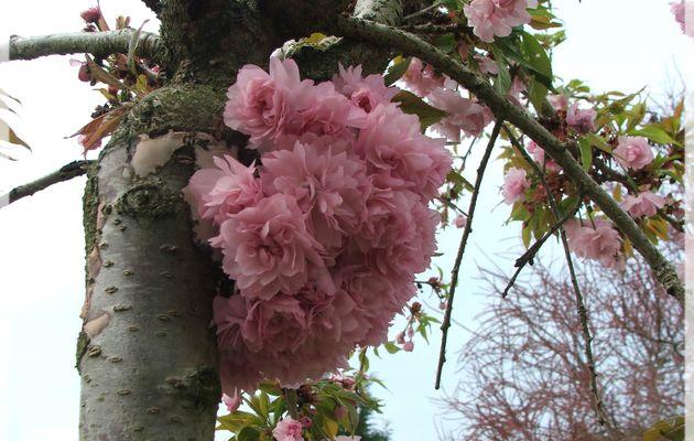 Mon cerisier à fleurs pleureur...