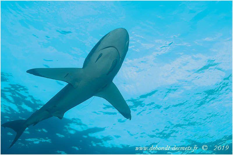 Le requin soyeux est facilement reconnaissable par sa grande taille , sa silhouette élancée et son long museau arrondi.