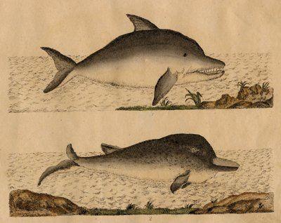 La pêche à la baleine au large de la Guadeloupe et de la Martinique