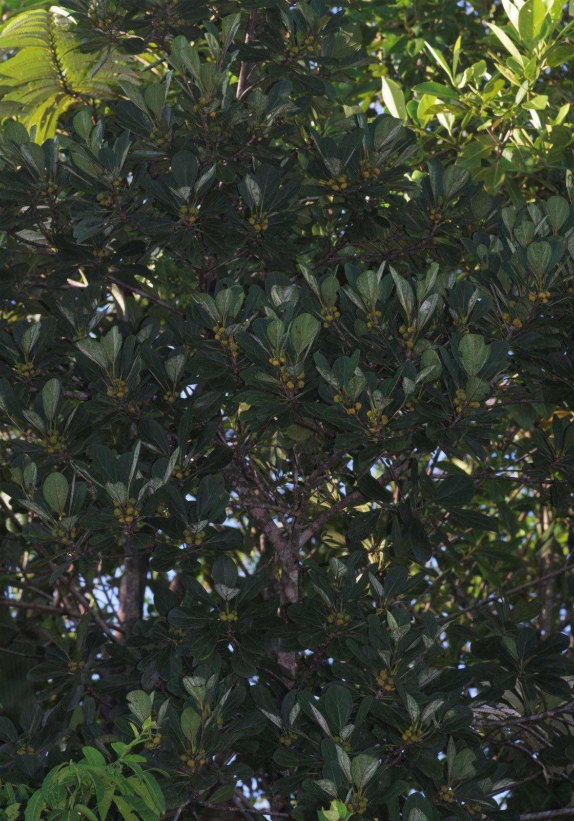 Coussapoa angustifolia