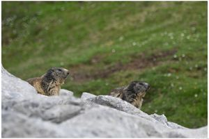 marmottes 2