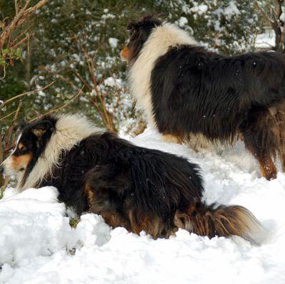 Colleys dans la neige