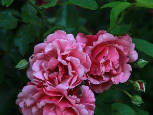 les rosiers en L. de Lo à Lu