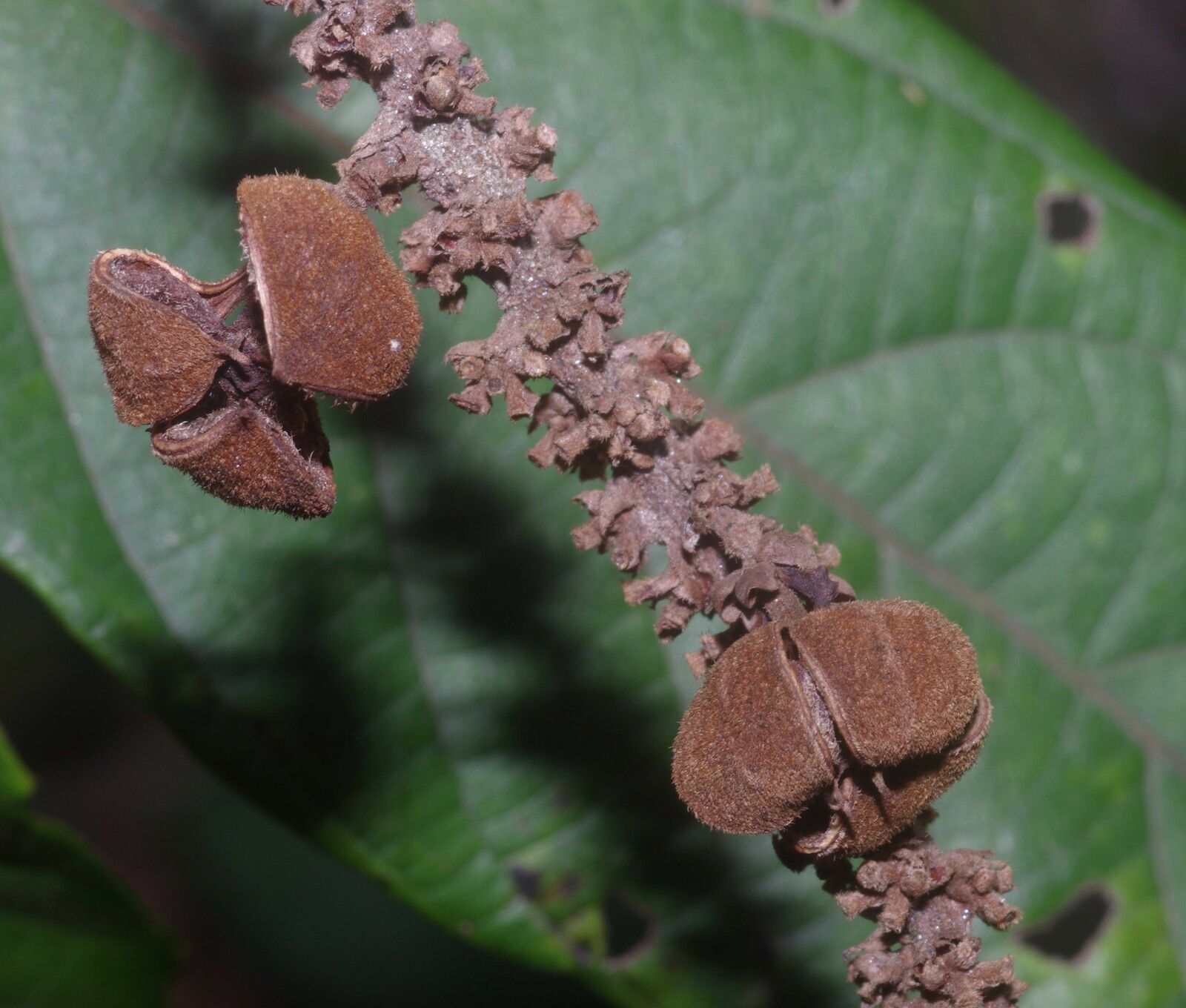 Paullinia stellata