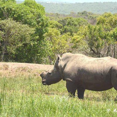 Thabo et Ntombi les rhinocéros dans la réserve de Thula Thula