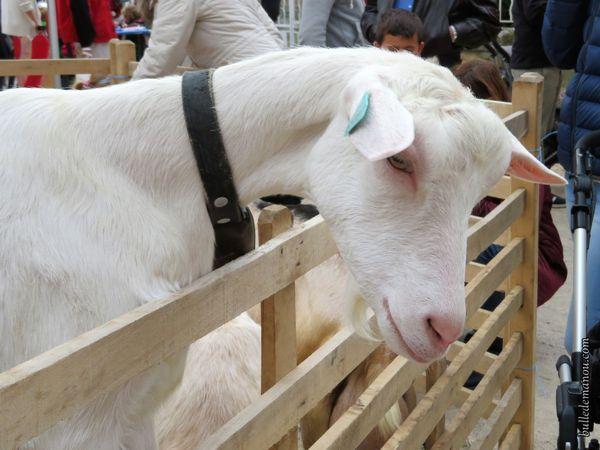 Une chèvre blanche très câline et curieuse aussi