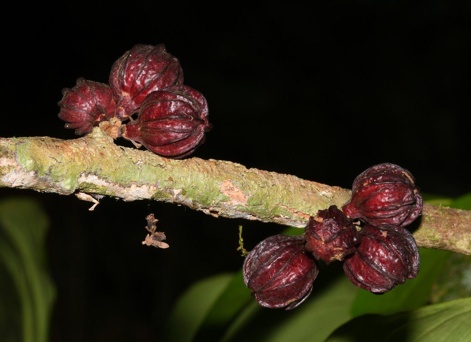 Guarea pubescens subsp. pubiflora (à confirmer)