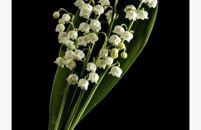 Bouquet de muguet_95