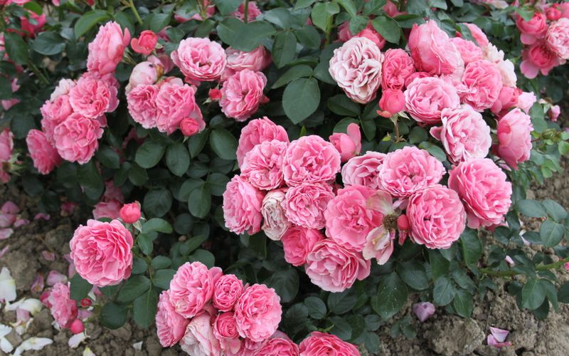 Découvrez le rosier 'Leonard de Vinci'